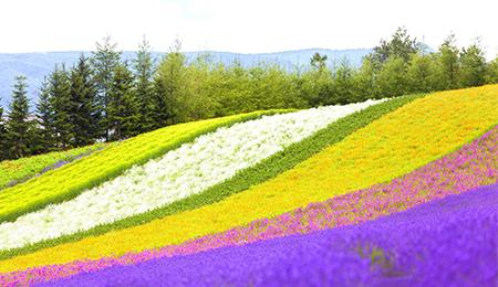 北海道4晚5日游(杭州HU航班,薰衣草体验+羊驼乐园+人气动物园+浪漫小樽.+双温泉)